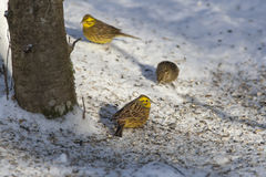 Bruant jaune mangeant des graines Images libres de droits