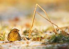 Bruant jaune mangeant les graines et le grain sur le champ Image stock