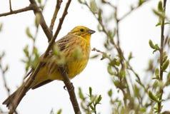 Bruant jaune sur la branche Photos libres de droits