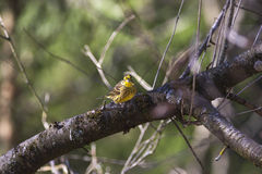 Bruant jaune se reposant sur un branchement d'arbre Images libres de droits
