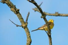 Bruant jaune se reposant sur une branche Photographie stock libre de droits