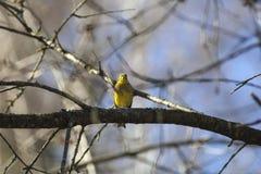 Bruant jaune se reposant sur une branche d'arbre Images libres de droits