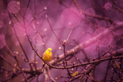 Bruant jaune siiting sur une branche dans un inviroment pourpre Photos stock