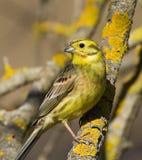 Bruant jaune sur la branche Image libre de droits