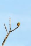 Bruant jaune sur une branche Image stock