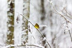 Bruant jaune sur une branche Photo stock