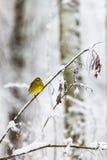 Bruant jaune sur une branche dans une forêt froide Images libres de droits