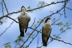 Brubru birds perched singing Royalty Free Stock Photography