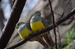 Bruce s Green Pigeon Treron waalia. Bruce s Green Fruit Pigeon Treron waalia at San Antonio Zoo, Texas Royalty Free Stock Photography