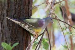 Bruce ` s zieleni Treron gołębi waalia w drzewie Obraz Royalty Free
