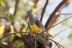 Bruce ` s zieleni Treron gołębi waalia w drzewie Zdjęcia Stock