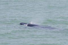Bruda的鲸鱼 免版税图库摄影