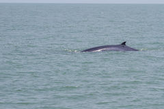Bruda的鲸鱼 库存图片