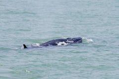 Bruda的鲸鱼 库存照片