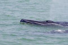 Bruda的鲸鱼 免版税库存图片