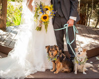 Bruden och brudgummen med pojke- och flickahunden på blått kopplar Royaltyfri Bild
