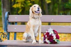 Brudgum Cocker Spaniel som söker efter en brud med en bukett av röda rosor fotografering för bildbyråer