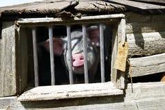 Brudna śmieszna świnia Fotografia Stock