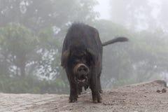 Brudna świnia nad mgłą Fotografia Stock