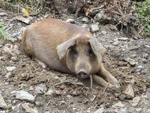 Brudna świnia w plenerowym środowisku Zdjęcia Stock