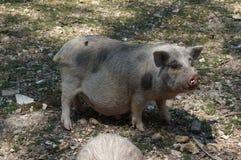 Brudna Brzuchata świnia Zdjęcia Royalty Free