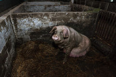 Brudna ciężarna świnia Fotografia Stock