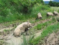 brudna czterech świń Zdjęcia Royalty Free
