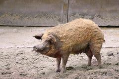 Brudna dorosły świnia Obrazy Stock