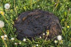 Brudna i zaśmierdła krowa srał w trawie Krowa nawóz fotografia royalty free