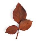 Brudna liść róża więdnie Fotografia Royalty Free