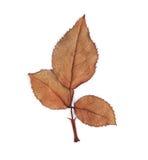 Brudna liść róża więdnie Obrazy Royalty Free
