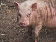 brudna mała świnka Fotografia Royalty Free