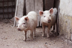 brudna świnia Zdjęcia Royalty Free