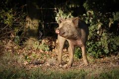 brudna świnia Obrazy Royalty Free