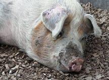 brudna świnia Zdjęcia Stock