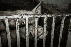 Brudna świnia na gospodarstwie rolnym Fotografia Royalty Free