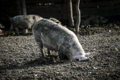 Brudna świnia na gospodarstwie rolnym outdoors Zdjęcie Royalty Free