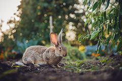 Brudno- szary królik zając gigant obraz stock