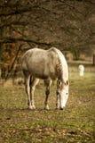 Brudny białego konia pasanie na paśniku zdjęcie stock