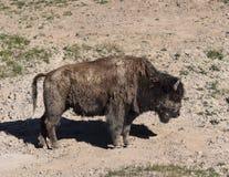Brudny bizon Obraz Royalty Free
