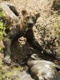 Brudny lwicy lying on the beach obok swój zdobycza, Serengeti, Tanzania Obrazy Stock