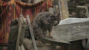 Brudny szary kot siedzi na uszkadzającym zabytku i ono myje lizanie kota Owłosiony bezdomny kot liże jego łapę i naciera zdjęcie wideo