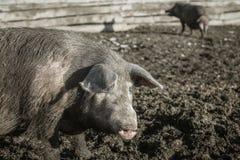 Brudny świniowaty i jej dzieci Obraz Royalty Free