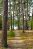 Brudu ślad meandruje przez sosnowego lasu wysocy drzewa i sosnowe igły Obraz Stock