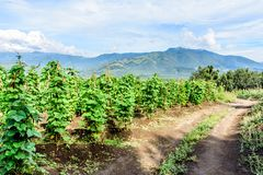 Brudu gospodarstwa rolnego ślad & fasoli uprawa, Gwatemala, Ameryka Środkowa zdjęcia royalty free
