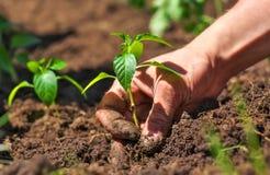Brudzi i mąci męskie ręki i roślina Zdjęcie Royalty Free