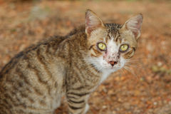 Brudzi przybłąkanego męskiego kota Obraz Royalty Free