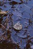 Brudzi spadać liść w kałuży błoto w lesie fotografia royalty free