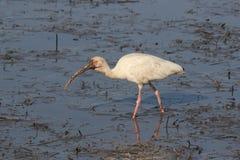 Brudzi Stawiającego czoło ibisa Zdjęcie Royalty Free