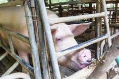 brudzi świnie Zdjęcie Royalty Free